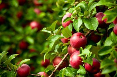 Obstbaumbestellaktion 2021 - Bestellannahme nur bis 29. September