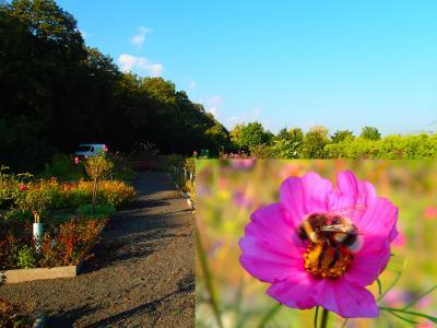 Foto zur Meldung: Ein Jahr im Kräutergarten an der Berzallee Schmuckkörbchen (Cosmos bipinnatus) – Kraut des Monats September