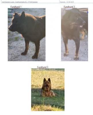 Fundtiere: 3 schwarz-braune Schäferhund-Mischlings-Rüden in 17111 Schönfeld OT Klenz