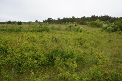 Im Vordergrund erkennbar – Gehölzaufwuchs (Verbuschung) eines Kalktrockenrasens am Südhang Ettersberg.