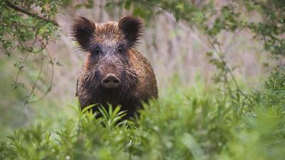 ASP-Nachweis bei Wildschwein im LK Meißen