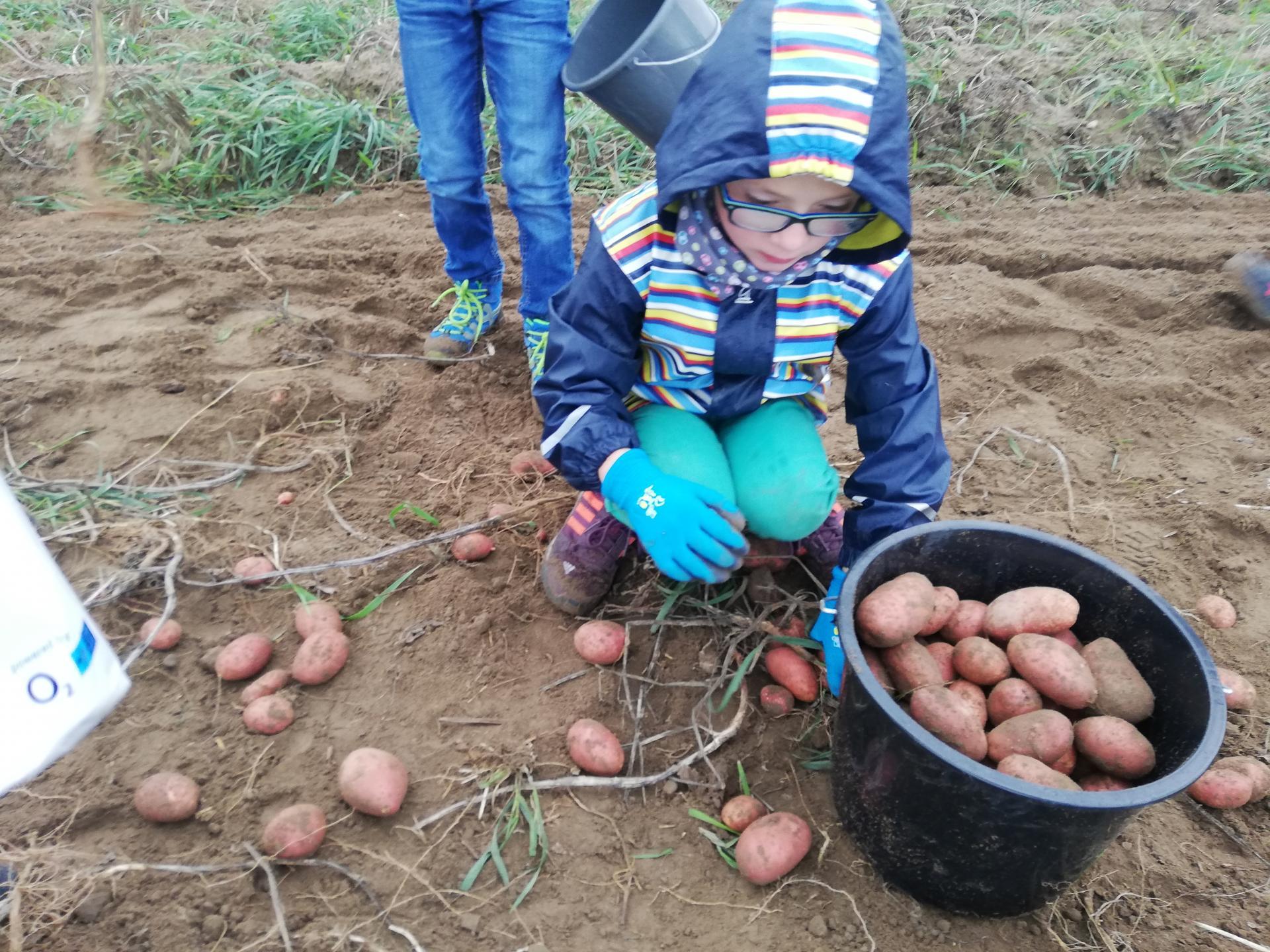 Die guten Kartoffeln kommen in den Eimer