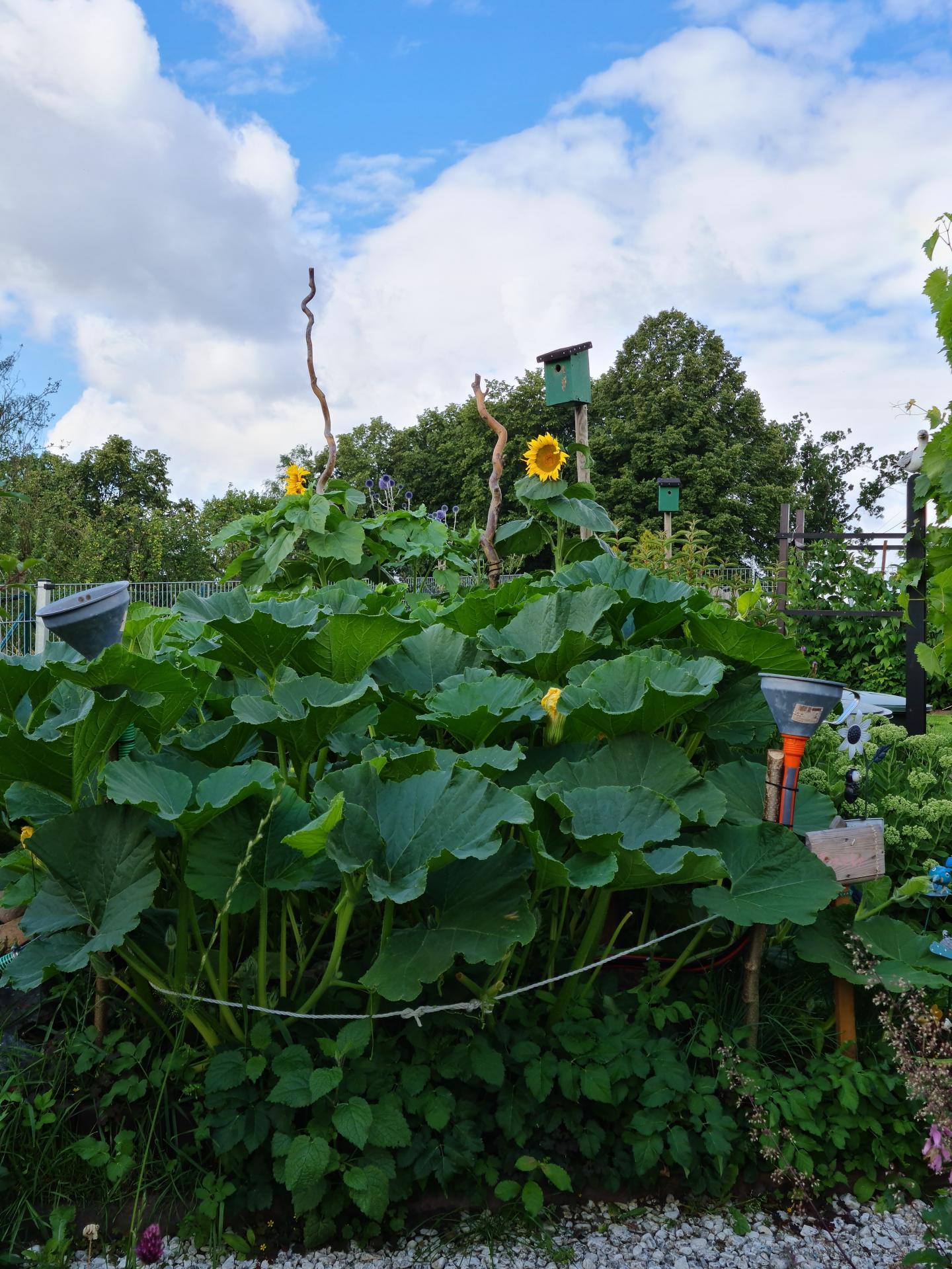 Viel Platz wird im Garten für die Kürbispflanze benötigt