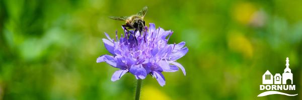 Eine Biene sitzt auf einer Kornblume