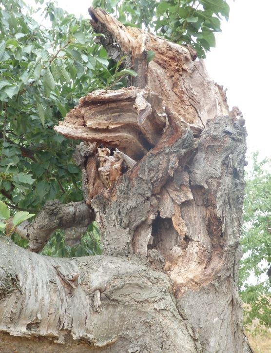 Detail Kirschbaum