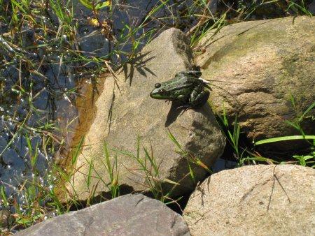 Teich mit Frosch 1