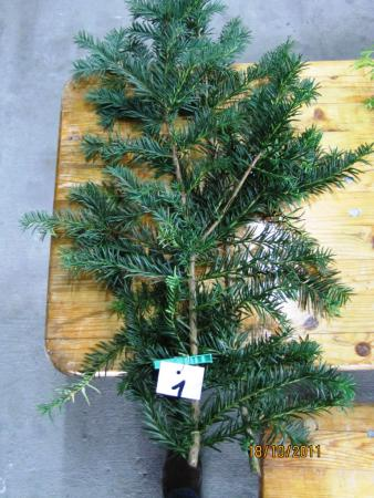 01 Taxus baccata