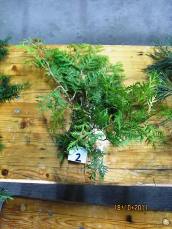 02 Thuja occidentalis