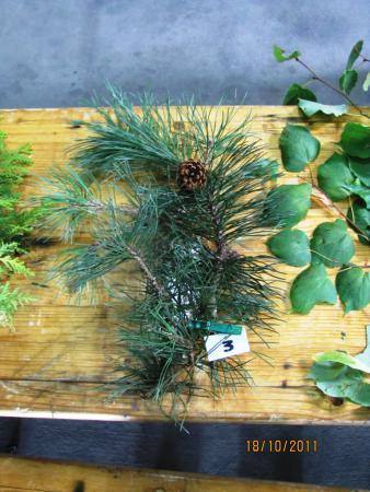 03 Pinus mugo