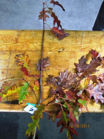 07 Quercus rubra
