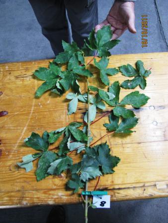 08 Acer pseudoplatanus