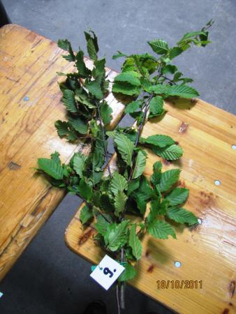 09 Carpinus betulus