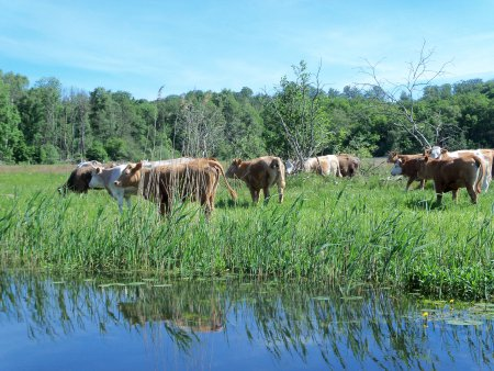 Recknitz - Jungrinder auf der Weide
