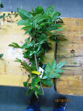 14 Mahonia x aquifolium