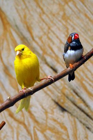 Kanarienvogel - 17866