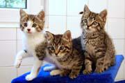 Jungkatzen