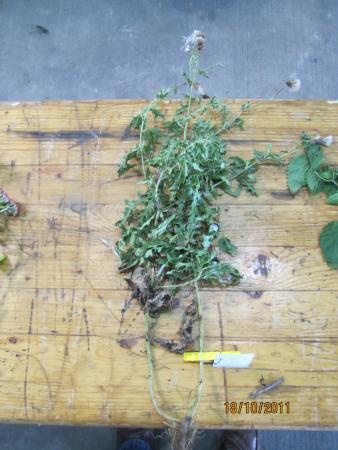 19 Cirsium arvense