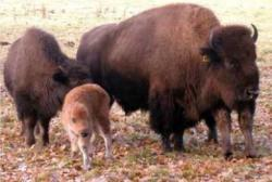 Bisons bei der Forest-Village-Ranch