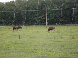 Bisongehege in Daubitz