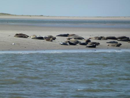 Seehunde am Ostende