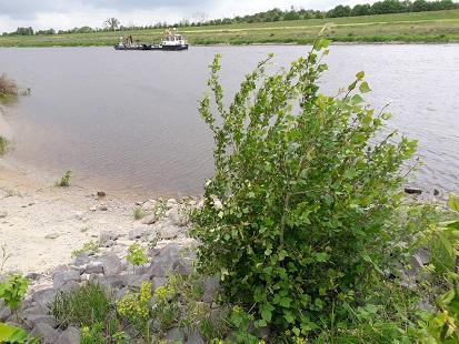 Schwarzpappel-Aufwuchs an der Elbe bei Dommitzsch