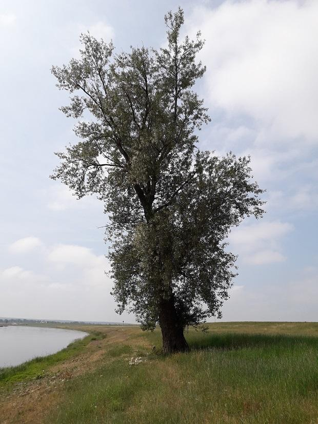Schwarzpappel an der Elbe