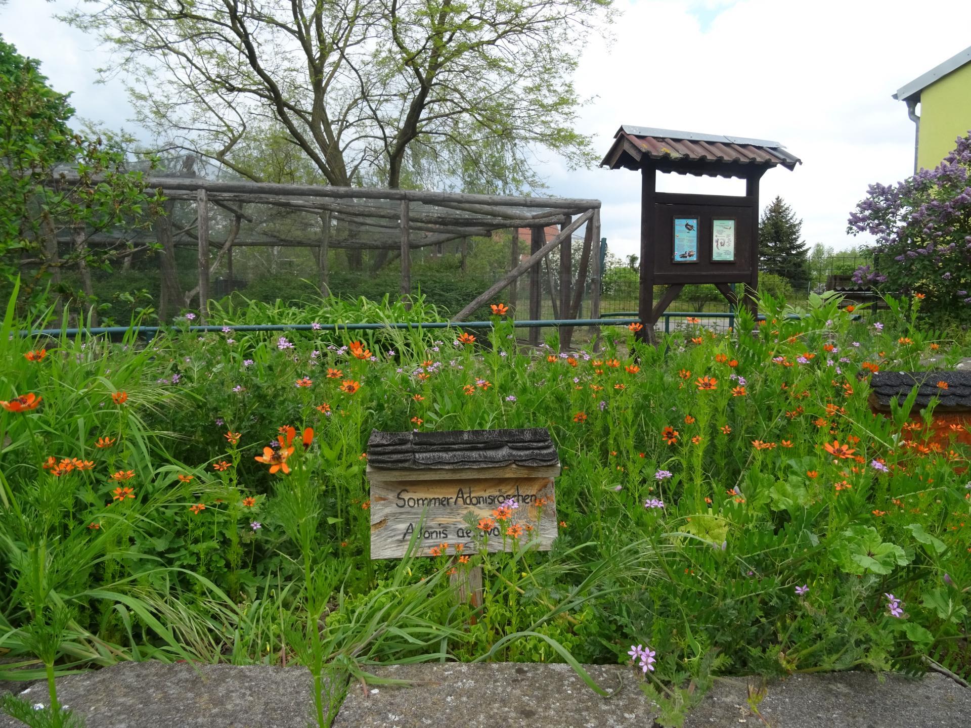 Sommeradonisröschen im Haustiergarten Mallnow  Foto: Info Punkt Lebus