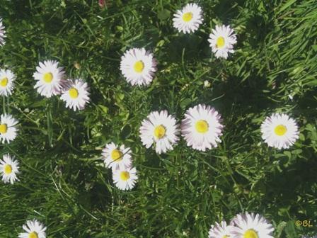 Gänseblümchen1
