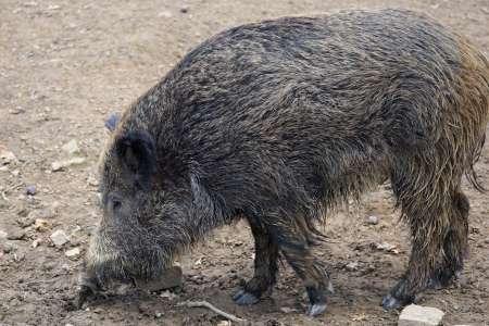 Wildschwein, Foto: A. Lischka Pixabay