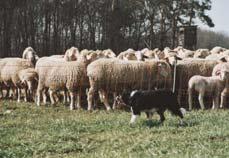 Management Schafhaltung