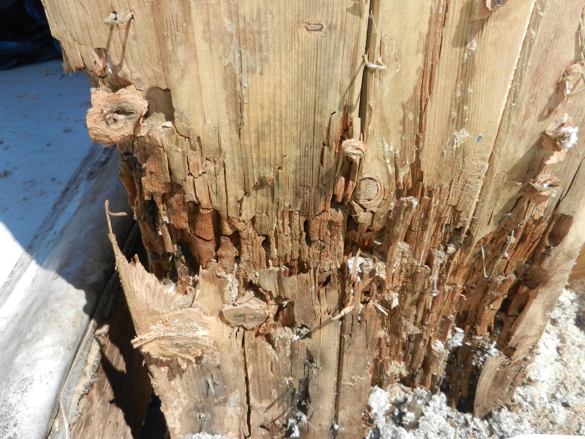 Materailschaeden nach Wasserschaden durch die Ameise Camponotus ligniperda (Braunschwarze Rossameise)_ji