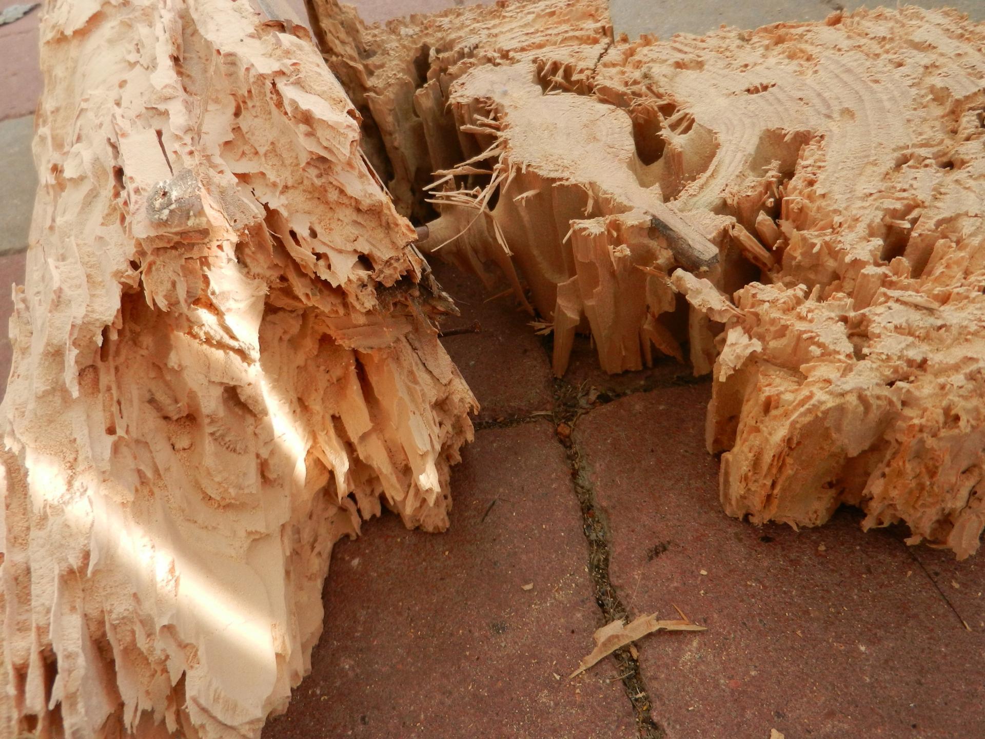Materialschaedling - Kernholzschaeden durch die Ameise Camponotus herculeanus (Schwarze Rossameise)_ji