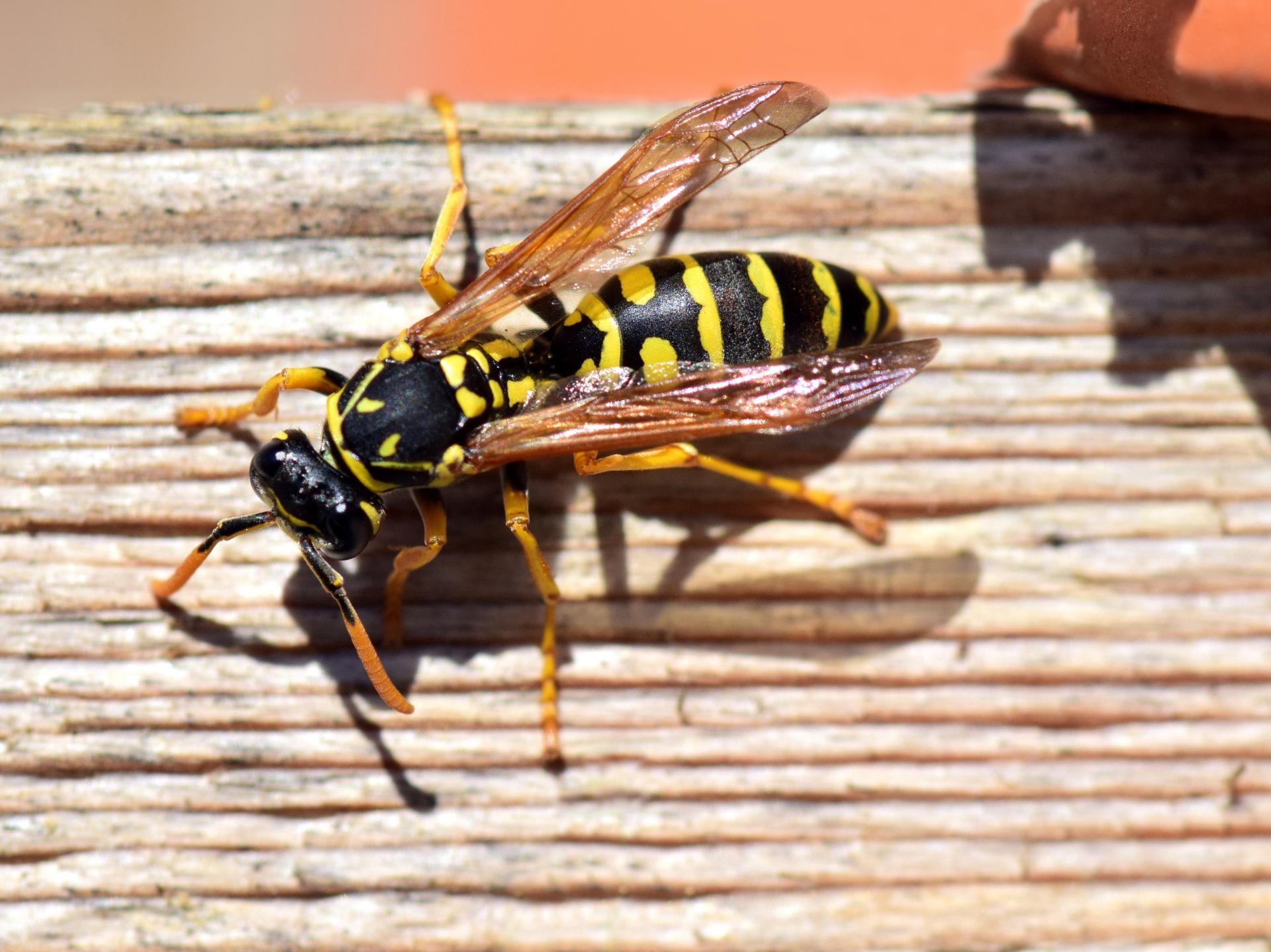 Wespen koennen Laestlinge sein