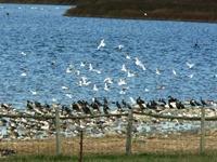 Vögelschwärme am Grimnitzsee