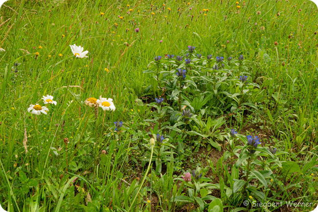 Kreuzenzian Blüte