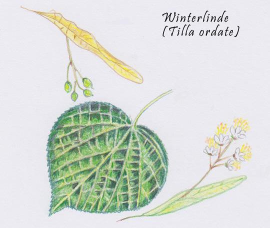 Winterlinde