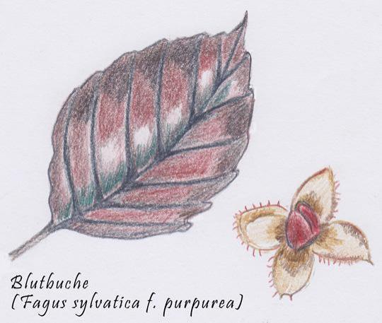 Fagus sylvatica f. Purpurea