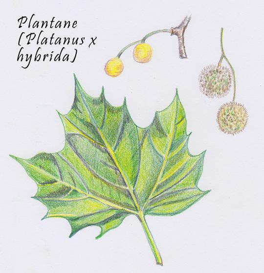 Platanus x hybrida