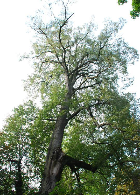 One of the four lime trees