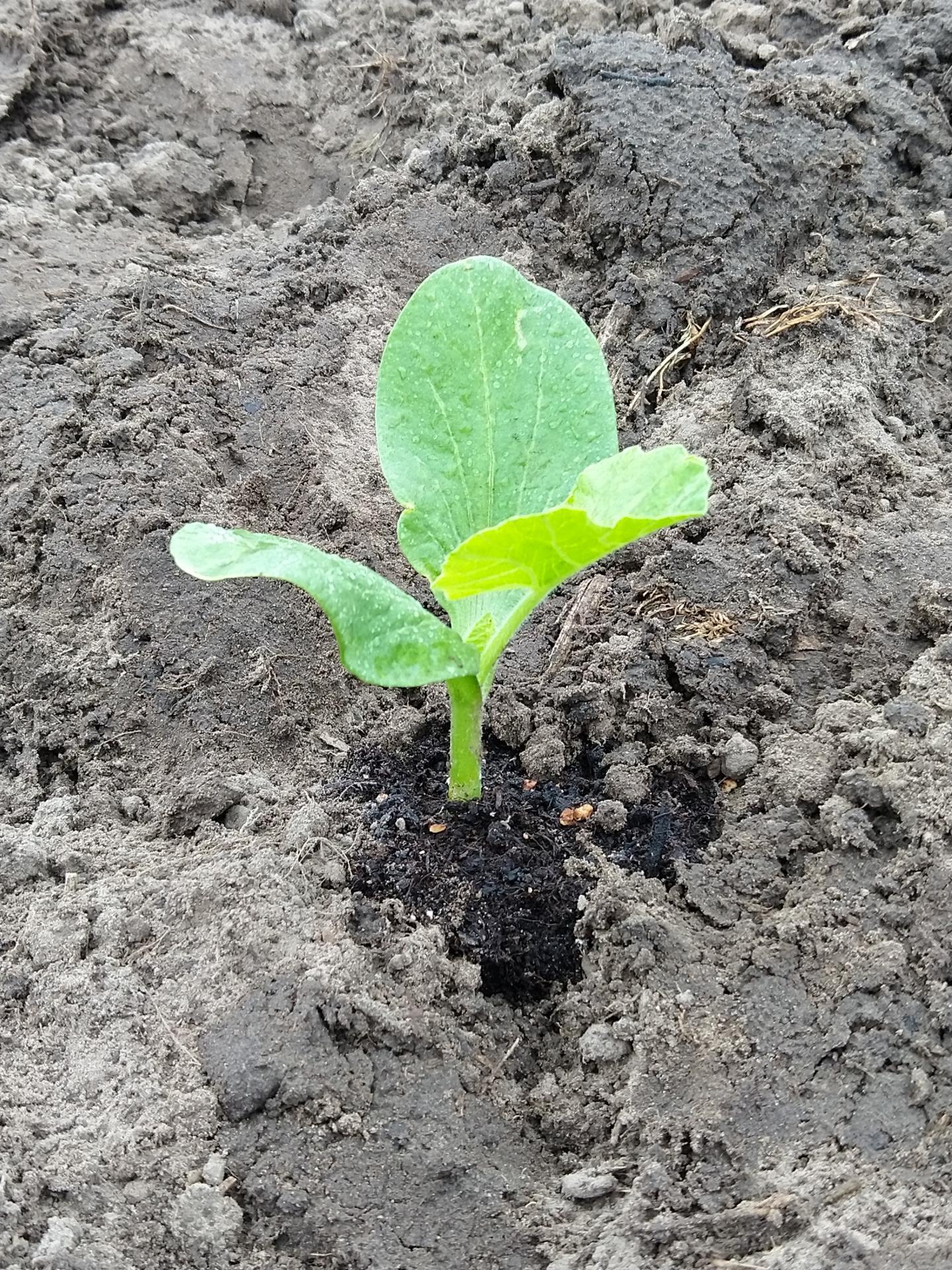 Eingepflanzter_Kürbis