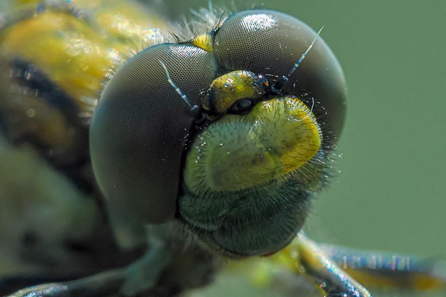 Wachsames Libellenauge