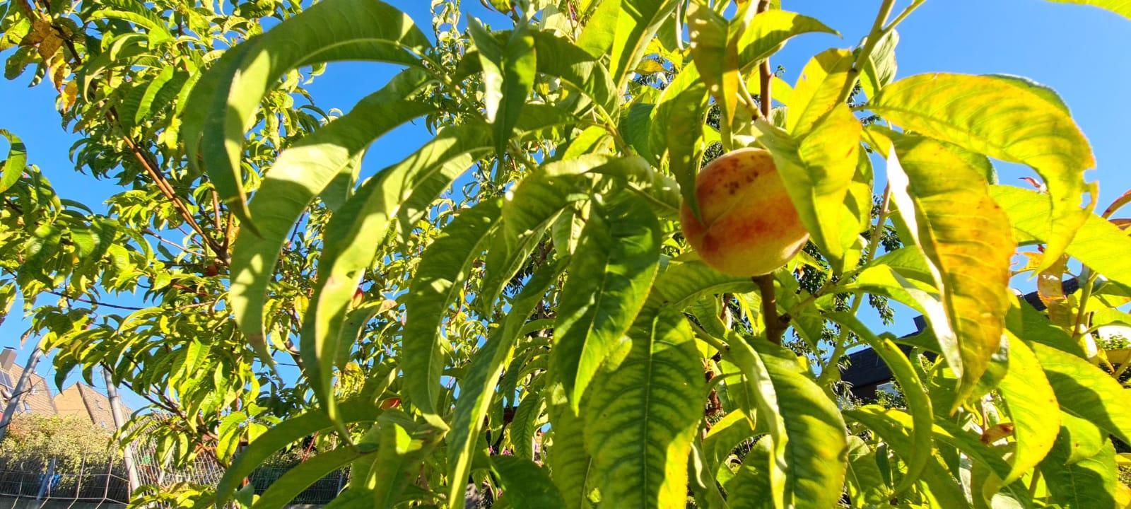 Pfirsich im Baum