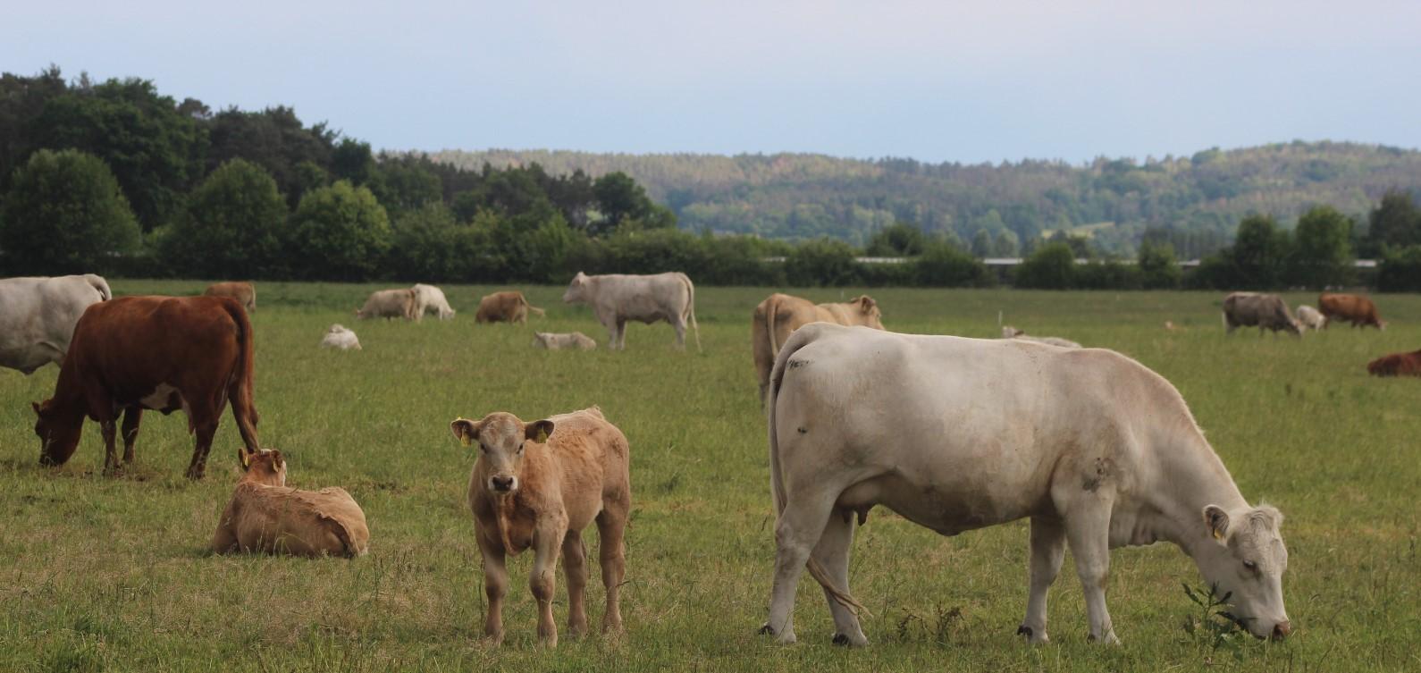 Mutterkühe mit Nachwuchs in der Flur Lindenau