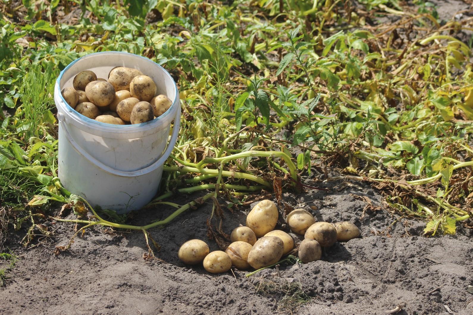 Frühkartoffeln bringen in diesem Jahr trotz Trockenheit im Lausitzer Sandboden gute Erträge und schmecken hervorragend, hier auf einer kleinen Parzelle in Lindenau (Bildautor: Rudolf Kuper)
