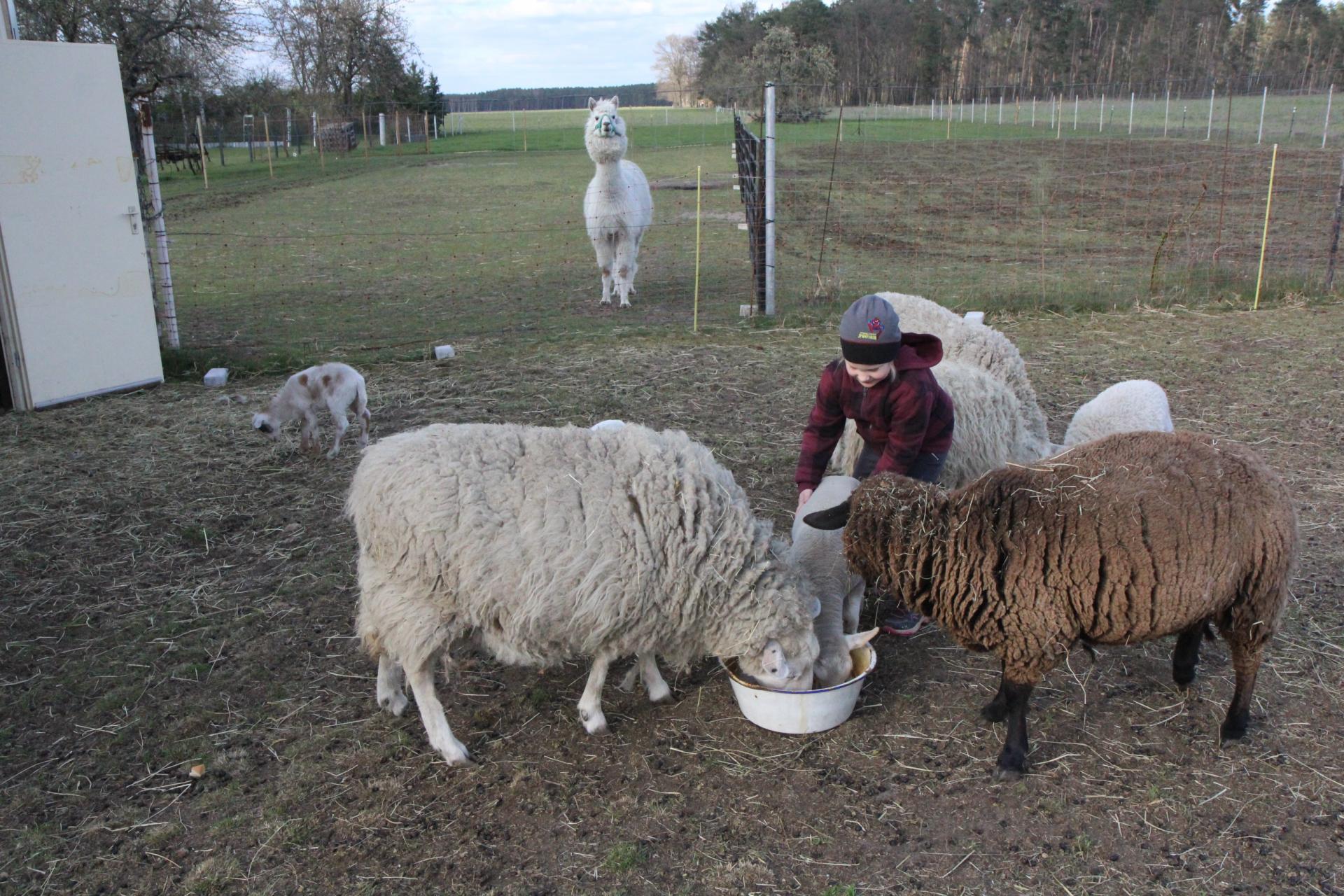 Die 5-jährige Mara ist mit dem Füttern des Schafnachwuchses und des Alpakas bei den Großeltern in Lindenau beschäftigt