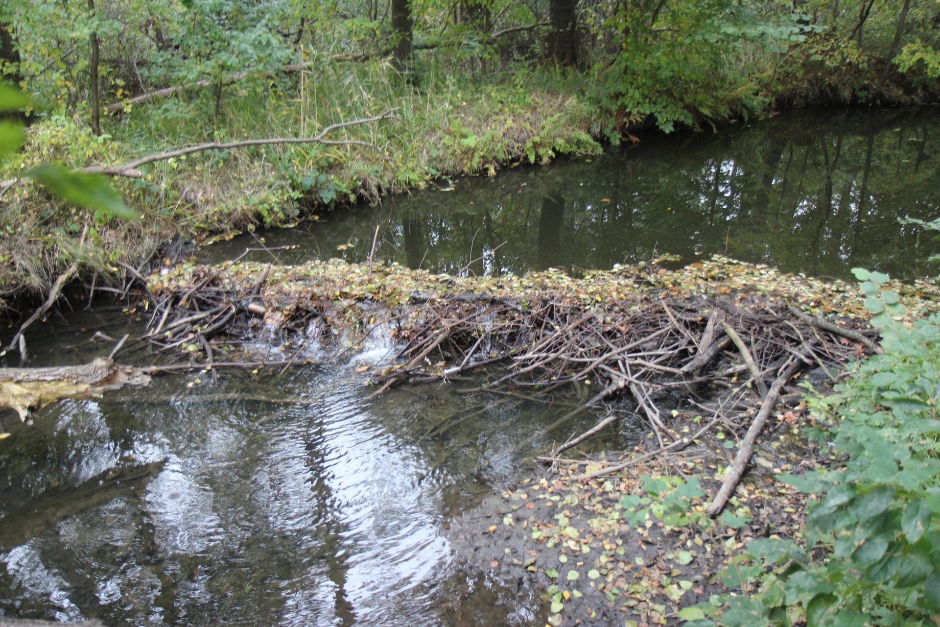 Biber als Wasserbaumeister haben in der Pulsnitz im Dürrejahr 2020 einen Damm angelegt um das knappe Wasser anzustauen
