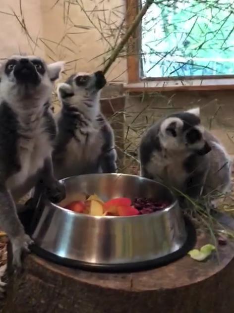 Kattas beim Fressen