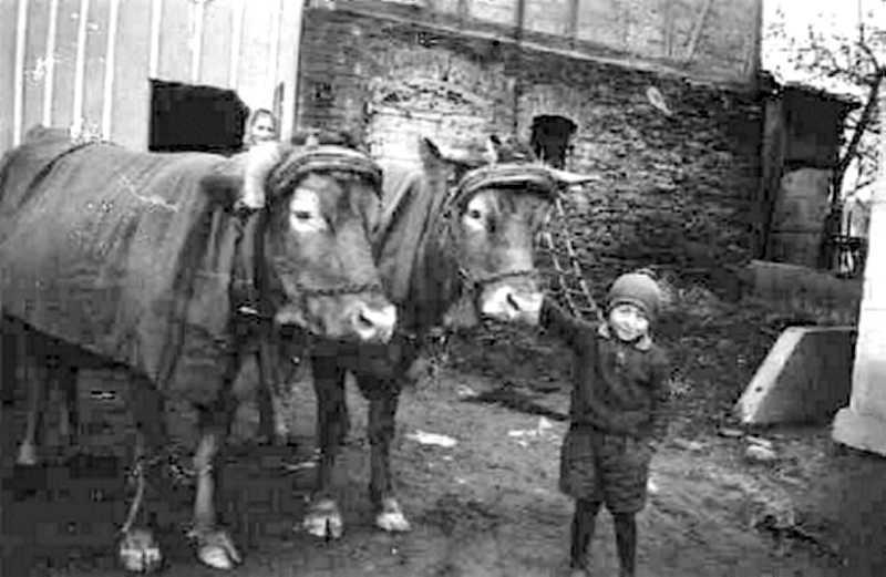 Magasch Hermann (H. Oster) hält sichtlich stolz das Kuhgespann. Die Viehdecken und die warme Mütze zeigen: Es ist Herbst!