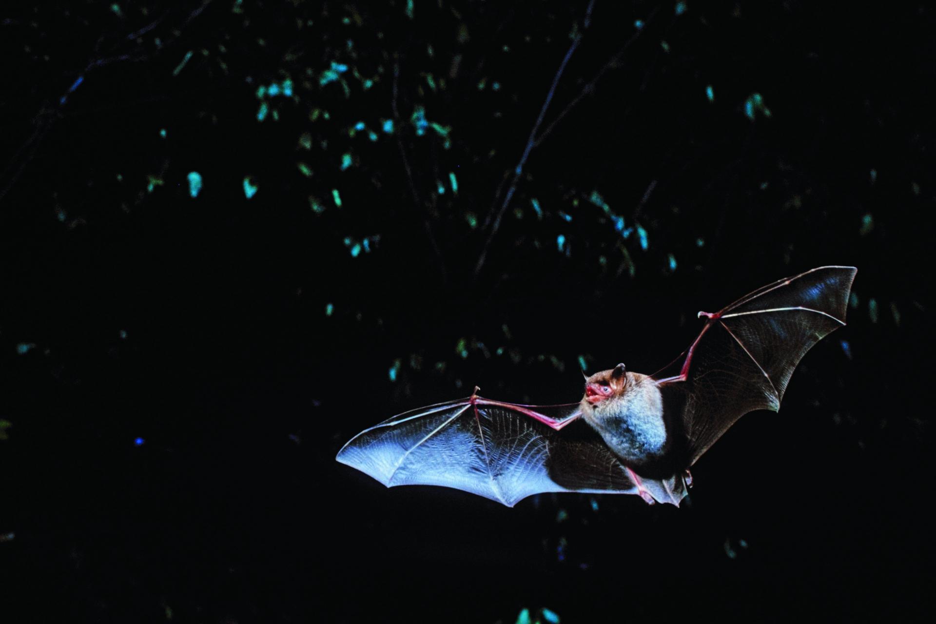 """In den kommenden Monaten werden die Fledermäuse im Nationalpark """"belauscht"""".  Foto: Thomas Stephan"""