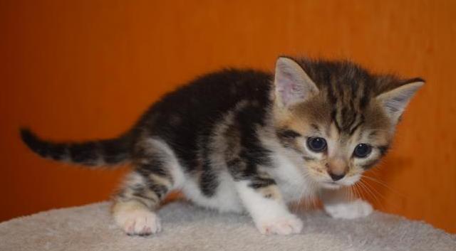 Kitten leonie